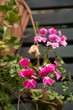 geraneo rosa