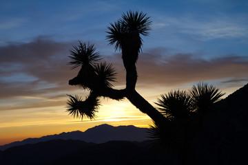 Joshua Tree Silhouette in Desert Sunset