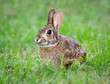 Young Cottontail bunny rabbit munching grass in the garden