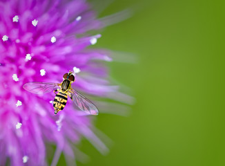 Hoverfly on thistle flower against natural green