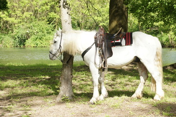 White horse with saddle tied by tree