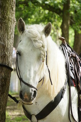 Head of white horse with halter