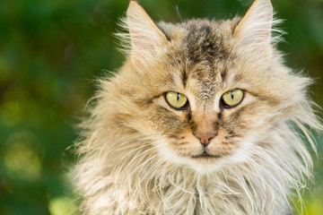 portait of a longhaired cat