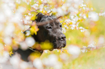 Portrait of cane corso in flowers