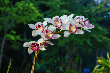 Cymbidium or boat orchids, is a genus of 52 evergreen species in