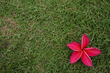 red frangipani on grass