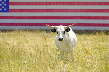 American Longhorn