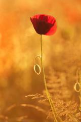 Mohnblume im Gegenlicht