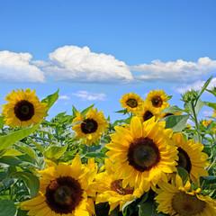 Sonnenblumen und strahlender Sommer-Himmel :)