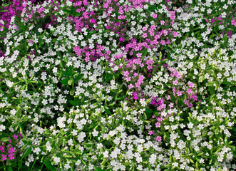 flowerbed with white Phlox subulate