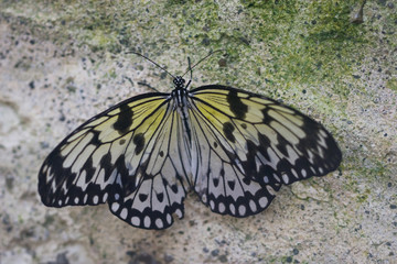 black and white tropical butterfly