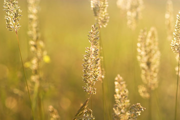 spikelets of grass steppe for background