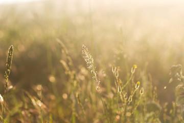 spikelets Field grass in evening sunlight