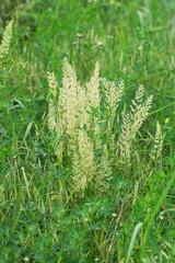 spikelets field of bright green grass