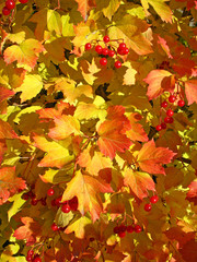 Autumn. Yellow and red leaves of viburnum