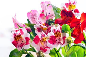 Bouquet of alstromeria