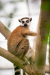 Ring-tailed Lemur on tree