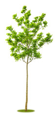 Junge freigestellte Akazie als Parkbaum