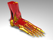 ������, ������: Foot skeleton with muscles
