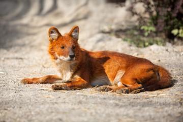 Red Fox lying on sand