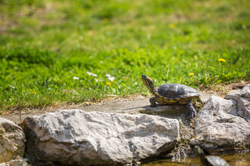 red-eared slider turtle basking in the sun