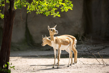 Two young impala