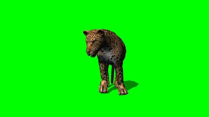 leopard standing and looks around with shadow - green screen