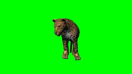 leopard standing and looks around - green screen