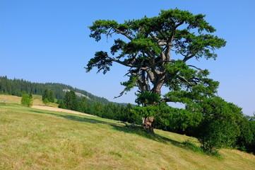Holy Pine in Kamena Gora, Serbia