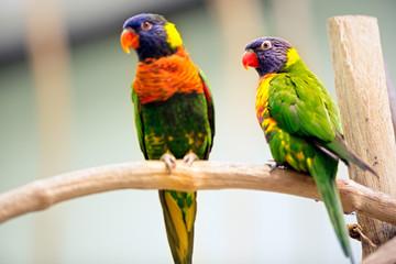 Pair Parrot