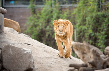 Young lion walking in zoo