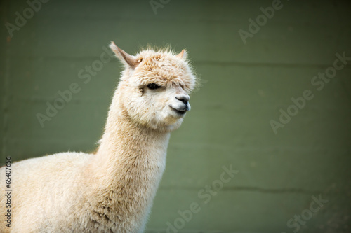 Deurstickers Lama Fluffy young Alpaca