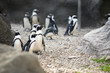 Colony of Magellan Penguins