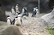 Colony of Magellan Penguins