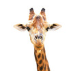Closeup portrait of giraffe isolated on white background.