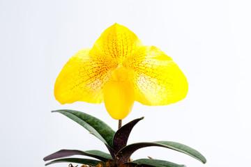 Paph Kiryu (armeniacum x leucochilum)
