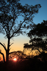 Sillhouettes of vultures in a tree at sunset, South Africa
