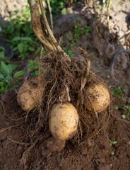 dug out potatoes