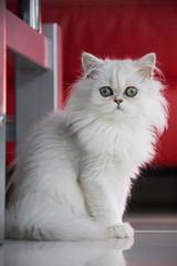 Weiße persische Katze