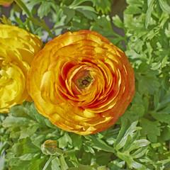 orange buttercup flower closeup on green natural background