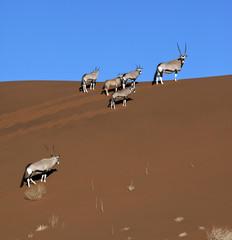 Gemsbok (Oryx) - Namib-Nuakluft Desert - Namibia
