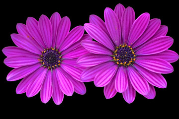 Asteraceae , purple daisies on black