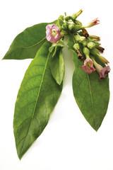 Blühende Tabakpflanze