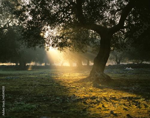 Italien, Olivenhain Olivenbaum Sonnenaufgang
