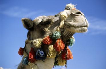 Ein Kamel