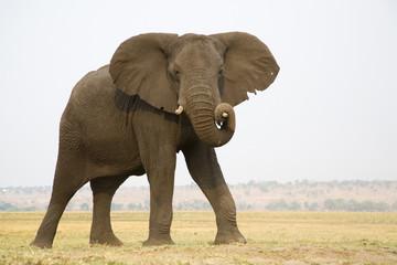 Afrika, Botswana, Chobe National Park, Elefant