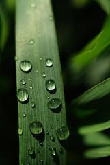 Tautropfen auf Weizen (Triticum aestivum), close up