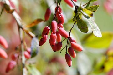 Berberitzen, Berberis vulgaris