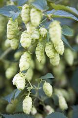 Hop Dolden (Humulus lupulus)