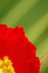 Mohn, close-up